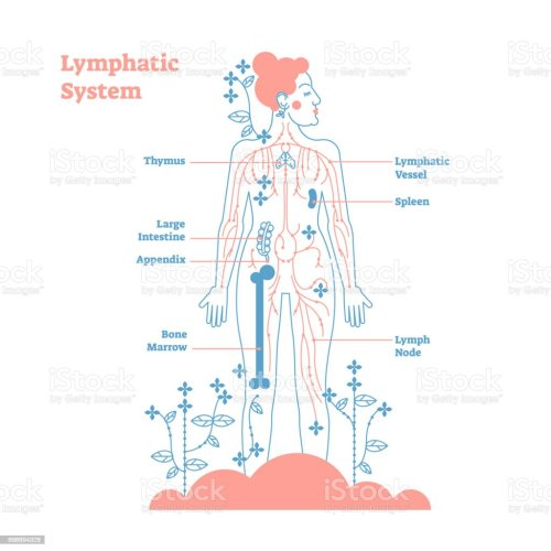 small resolution of artistic lymphatic system anatomical vector illustration diagram poster decorative and elegant medical scheme with lymph
