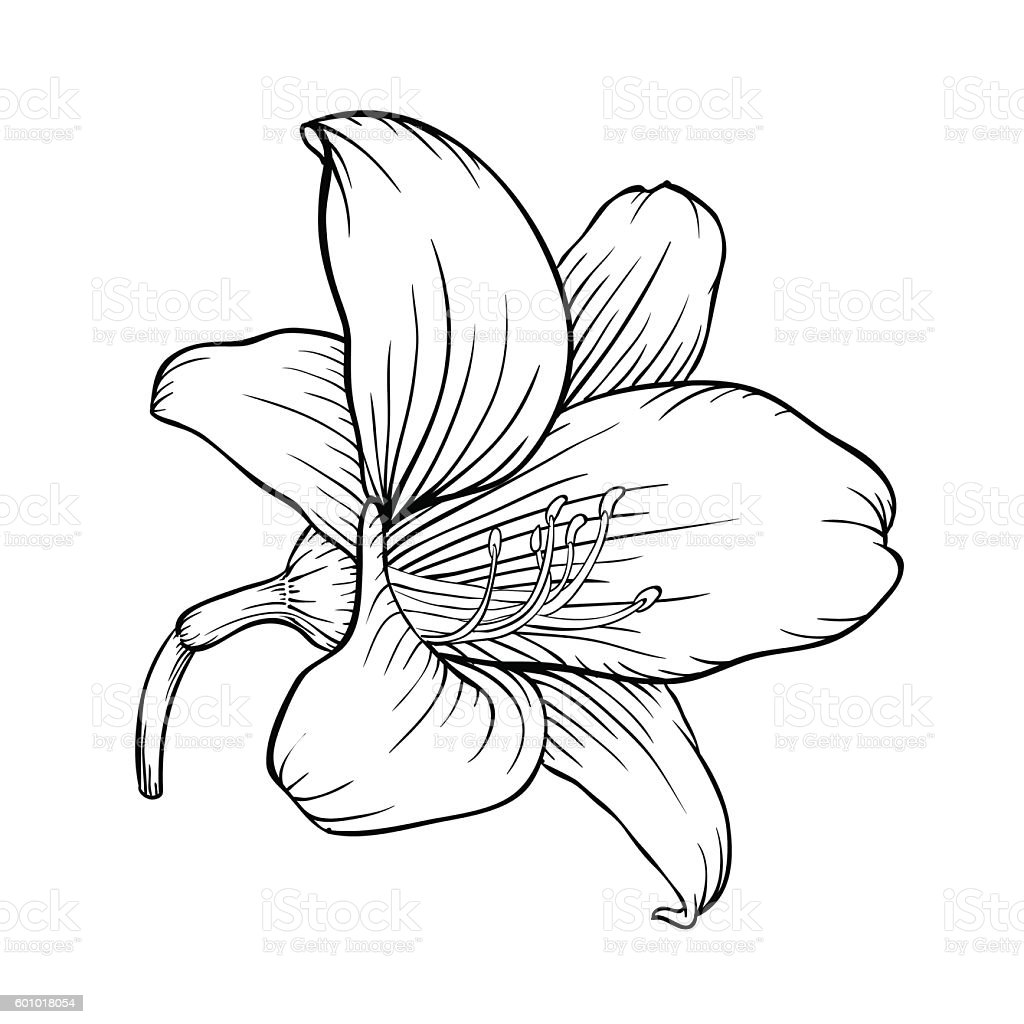 Black And White Lily Isolated On White Background Stock