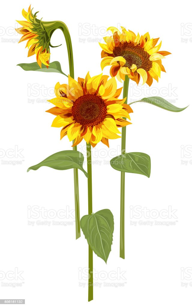 sunflower illustrations royalty-free
