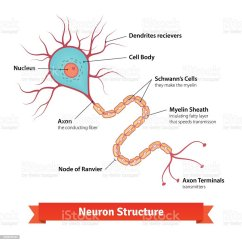 Neuron Diagram Labeled 2005 Honda Civic Lx Wiring Brain Cell Stock Vector Art And More Images