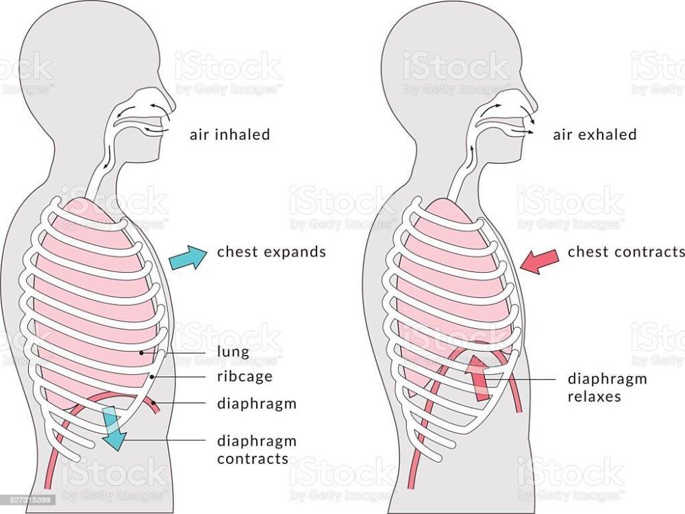 medium resolution of breathing diagram illustration