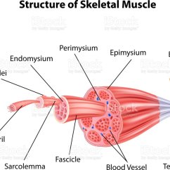 Human Muscle Cell Diagram 4 Way Flat Wiring Royalty Free Clip Art Vector Images Illustrations Cartoon Illustration Of Structure Skeletal Anatomy