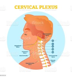 cervical plexus anatomical nerve diagram vector illustration scheme with neck cross section illustration  [ 970 x 1024 Pixel ]
