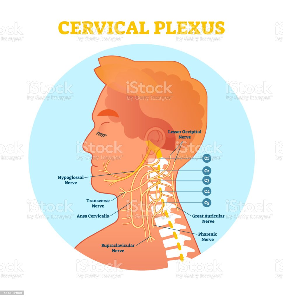 medium resolution of cervical plexus anatomical nerve diagram vector illustration scheme with neck cross section illustration