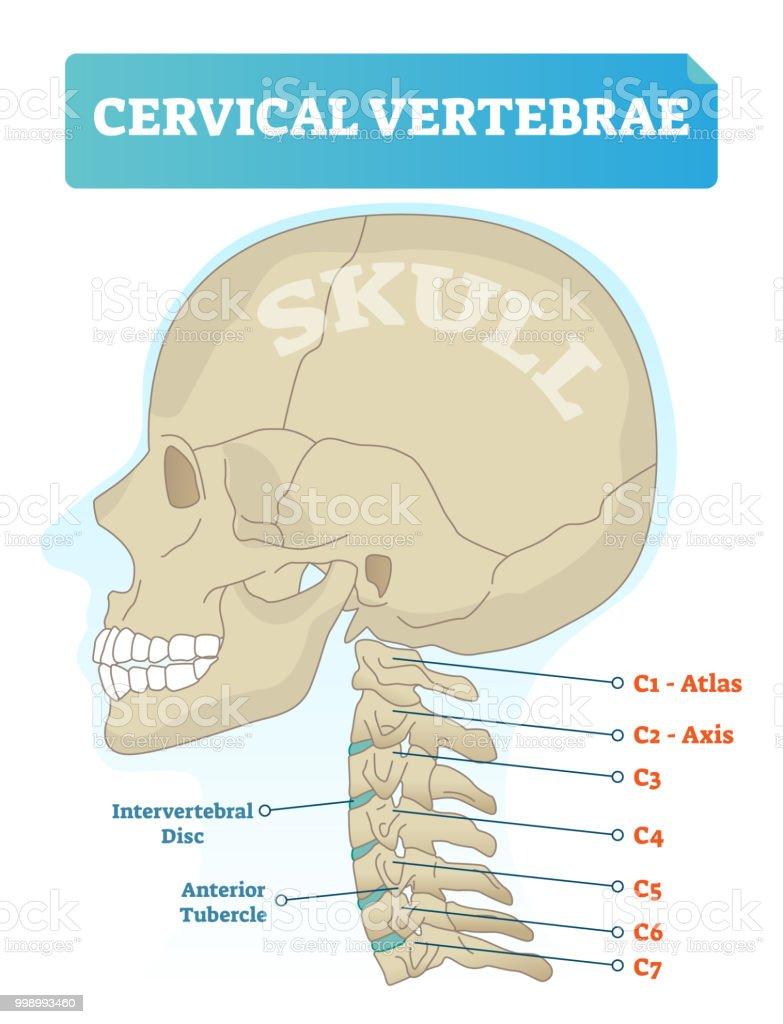 hight resolution of cervical vertebrae vector illustration scheme with skull c1 atlas c2 axis c3