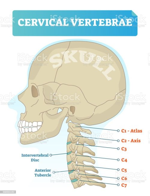 small resolution of cervical vertebrae vector illustration scheme with skull c1 atlas c2 axis c3