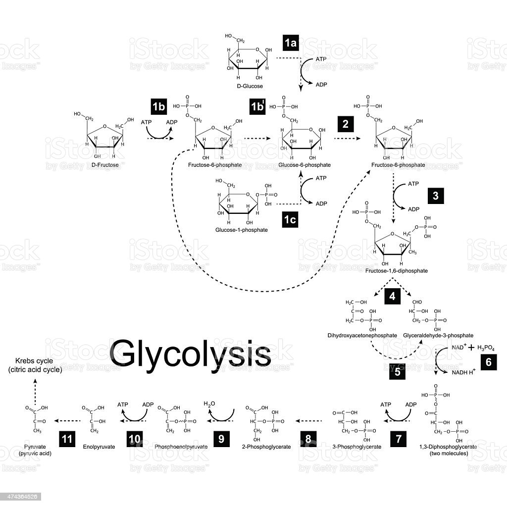 Chemical Scheme Of Glycolysis Metabolic Pathway Stock