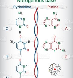 chemical structural formulas of purine and pyrimidine nitrogenous bases adenine a ade  [ 868 x 1024 Pixel ]