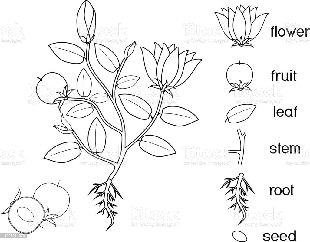 Coloring Page Parts Of Plant Morphology Of Flowering Plant