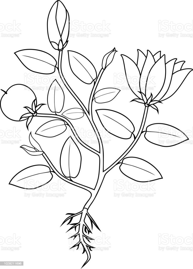 Coloring Page Plant With Flowers Leaves Fruit And Root
