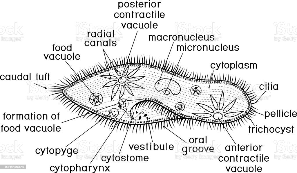 Coloring Page Structure Of Paramecium Caudatum With Titles Stock Vector Art & More Images of