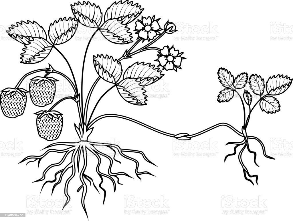 Coloring Page With Strawberry Plant With Roots Flowers