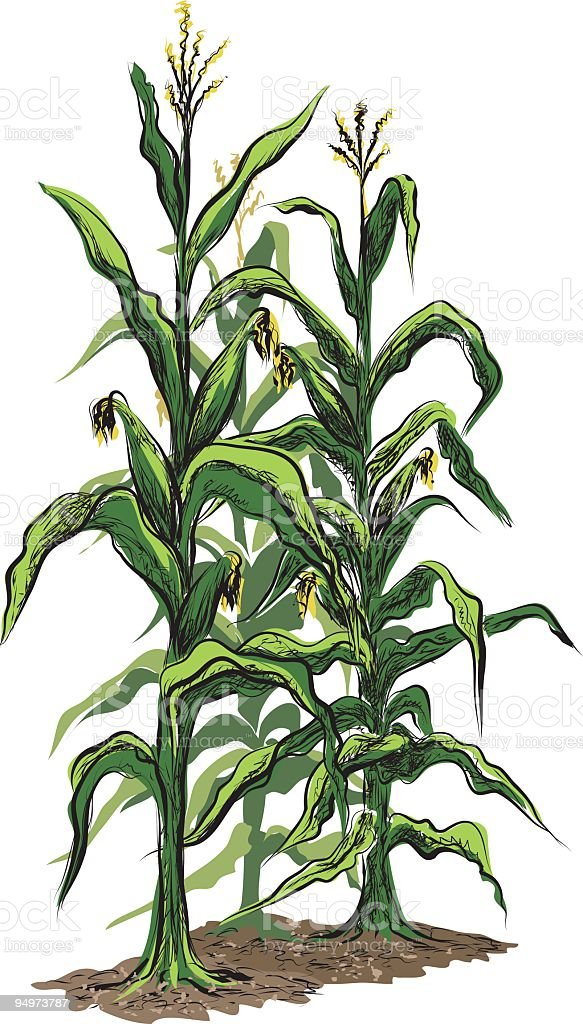 corn stalks with tassels and illustration