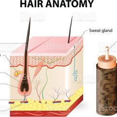 Skin Cross Section Diagram 1991 Honda Civic Electrical Wiring And Schematics Of A Hair Follicle In Layers Stock Illustration