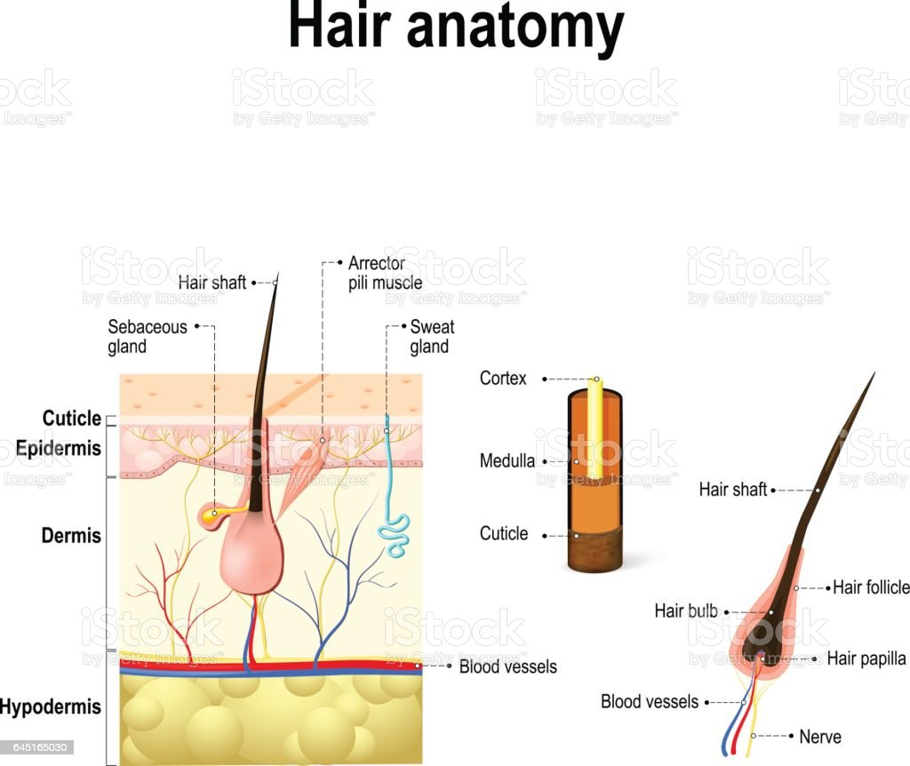dermis layer diagram gfci outlet internal wiring of a hair follicle in cross section skin
