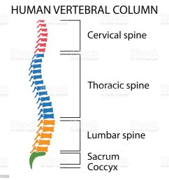 diagram of a human spine royalty free diagram of a human spine stock vector [ 1024 x 1024 Pixel ]