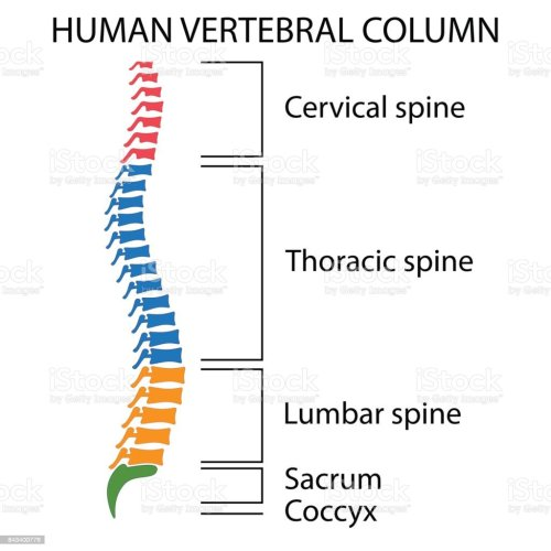 small resolution of diagram of a human spine royalty free diagram of a human spine stock vector