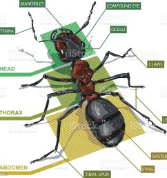 diagram of an ant royalty free diagram of an ant stock vector art amp  [ 1024 x 1001 Pixel ]