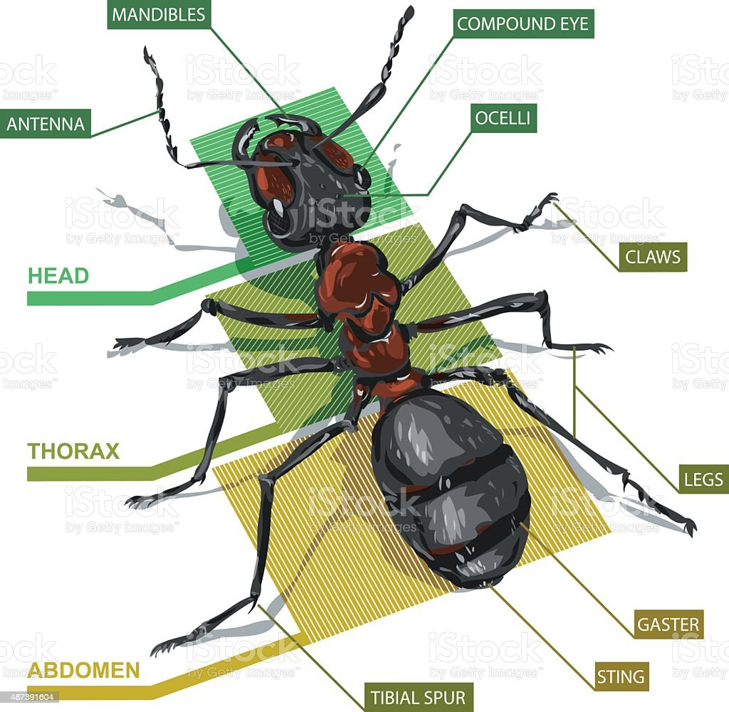 hight resolution of diagram of an ant royalty free diagram of an ant stock vector art amp