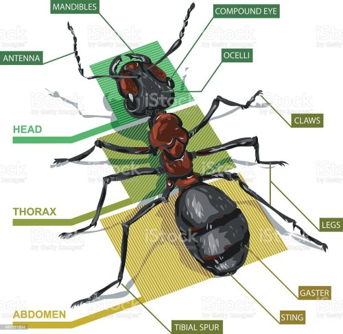 small resolution of diagram of an ant royalty free diagram of an ant stock vector art amp