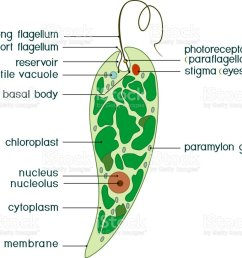 diagram of euglena structure of euglena viridis with titles illustration  [ 1024 x 822 Pixel ]