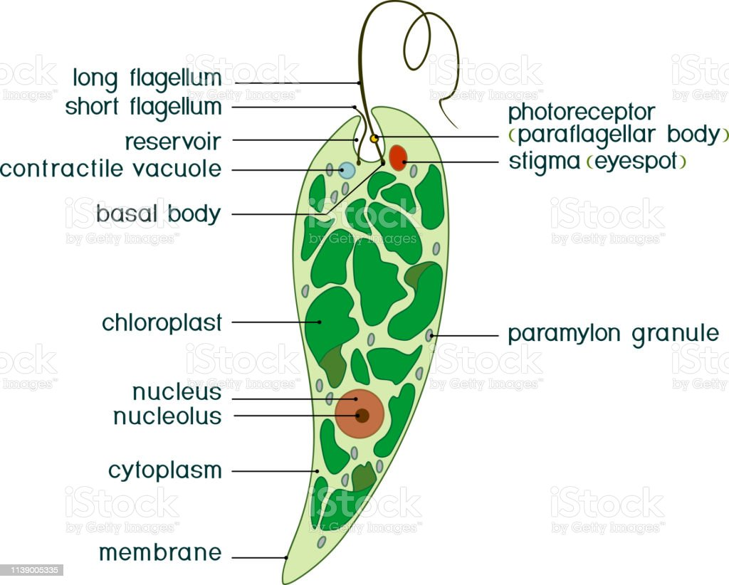 hight resolution of diagram of euglena structure of euglena viridis with titles illustration