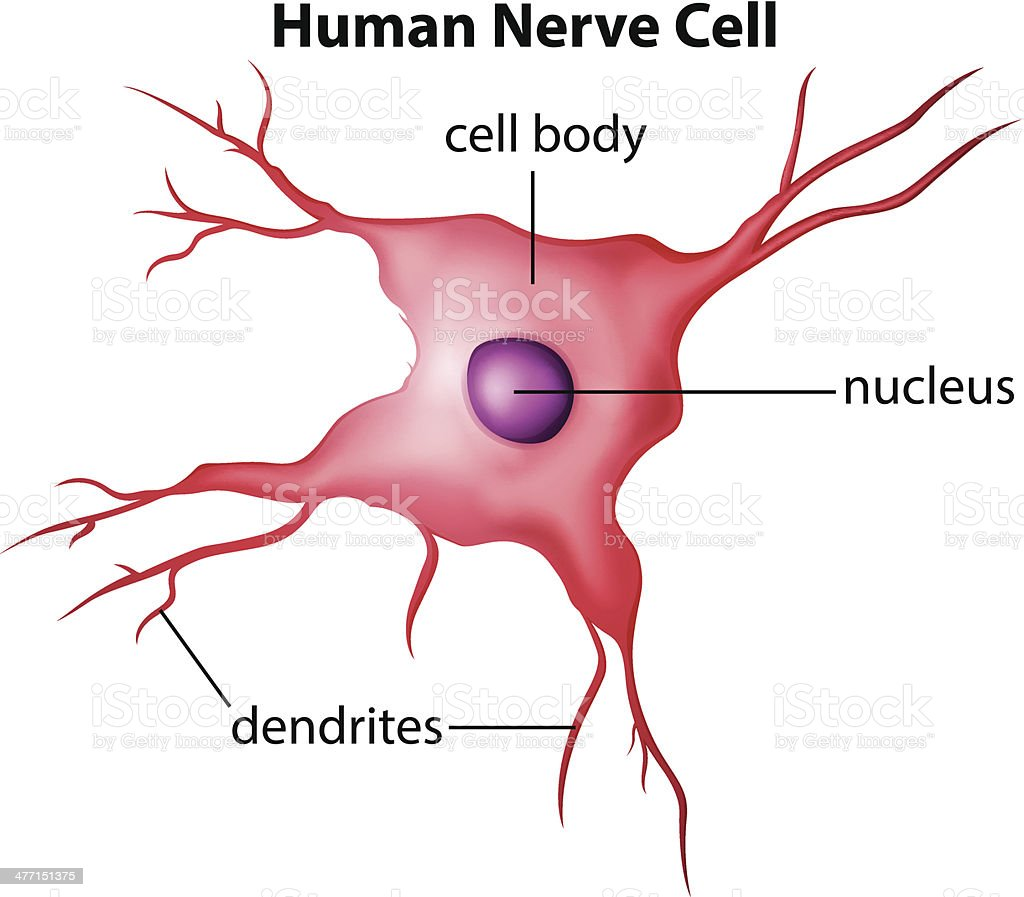 human brain cell diagram cj lancer wiring of nerve stock vector art and more images