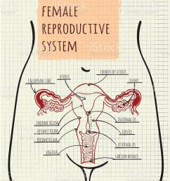 diagram of the female reproductive system illustration  [ 819 x 1024 Pixel ]