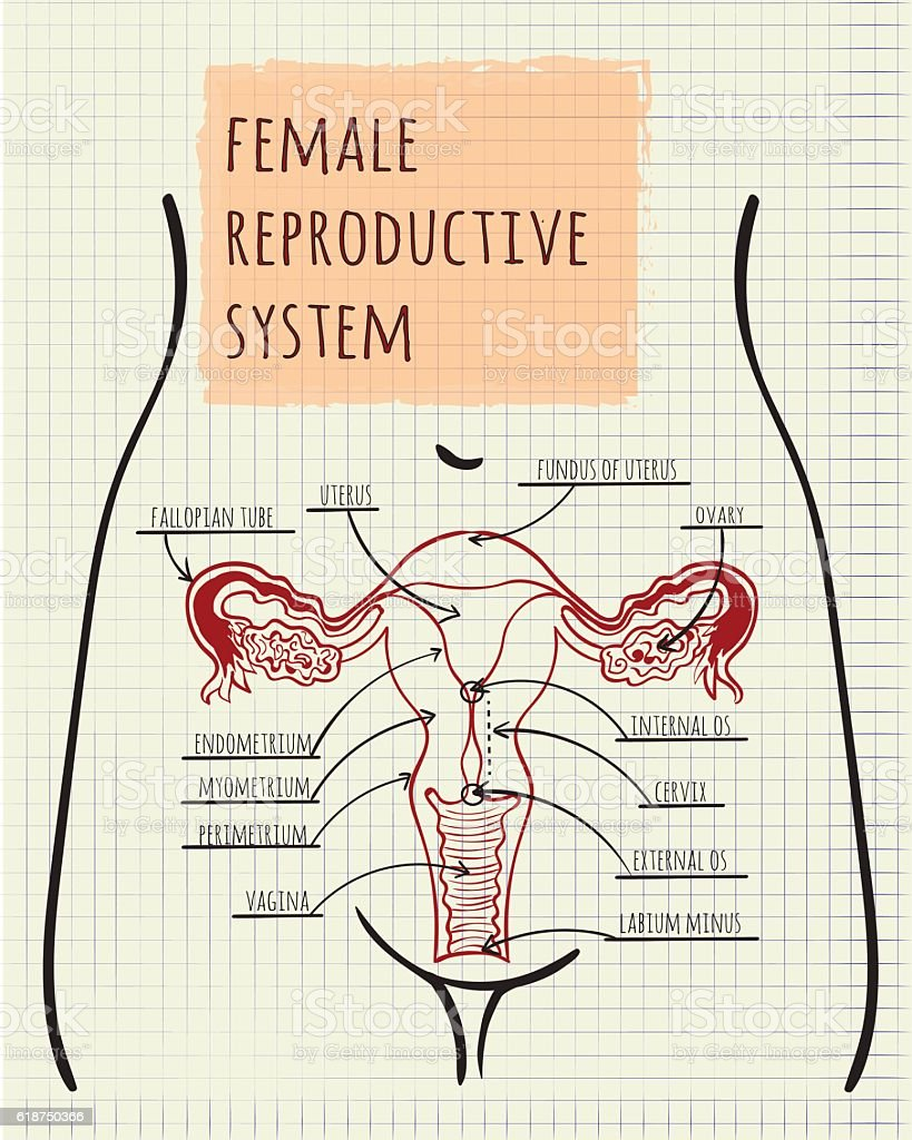 hight resolution of diagram of the female reproductive system illustration