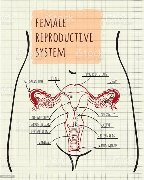 small resolution of diagram of the female reproductive system illustration
