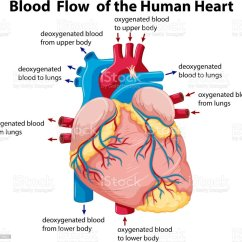 Human Heart And Lungs Diagram Kenworth Wiring W900 Showing Blood Flow In Stock Vector Art More Illustration