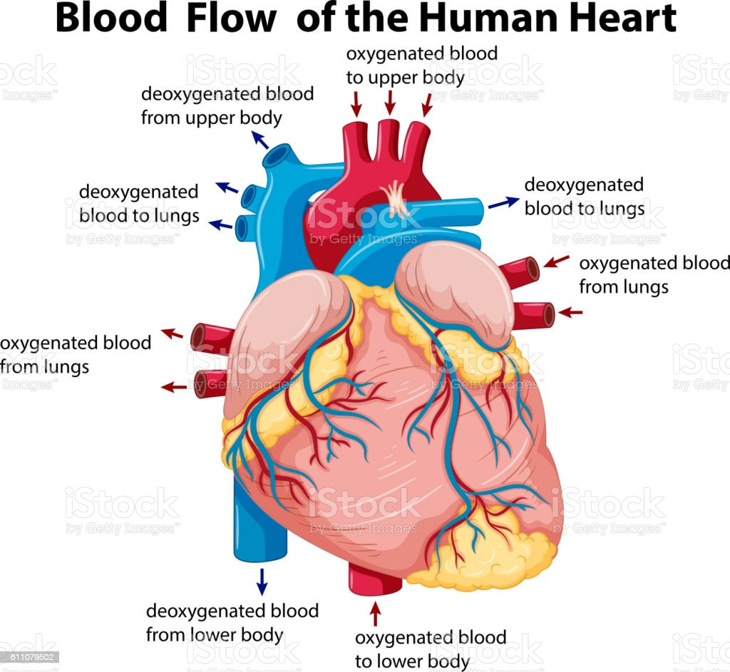 hight resolution of diagram showing blood flow in human heart ilustraci n de diagram showing blood flow in human heart