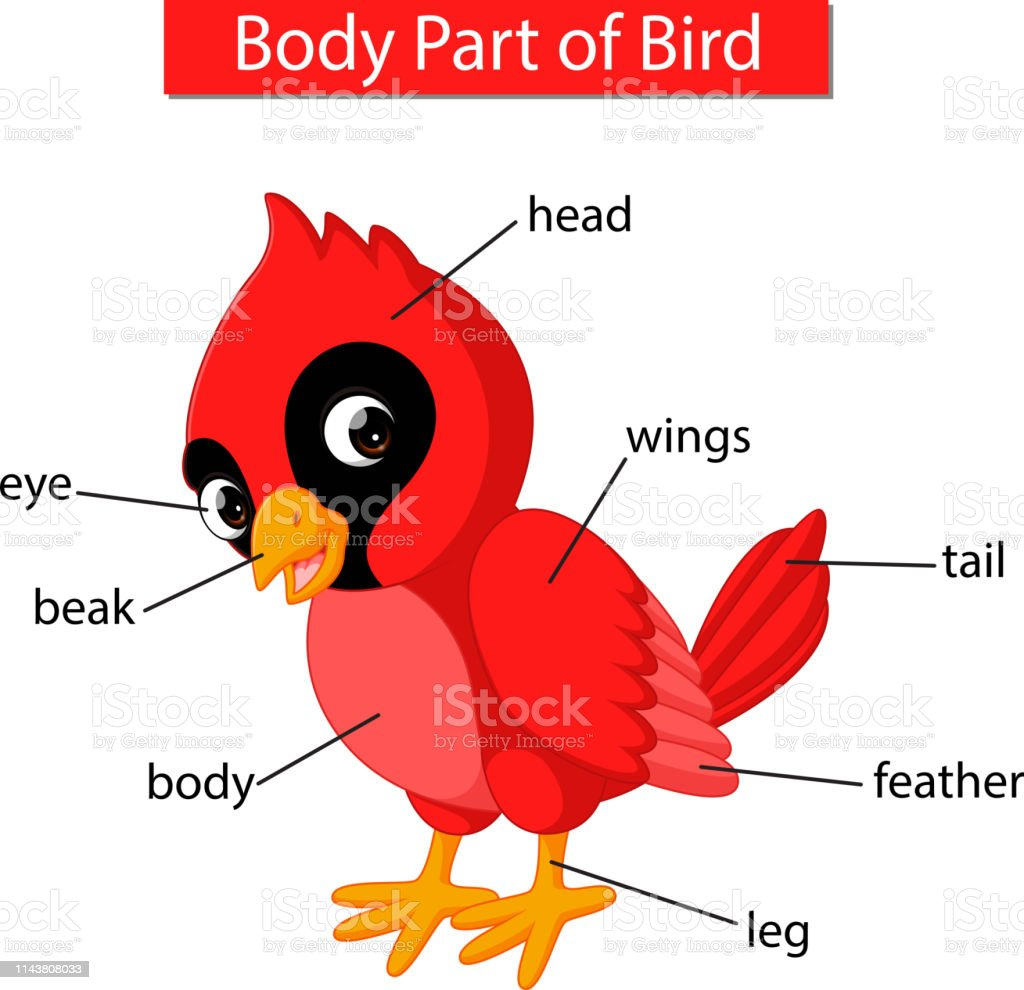 hight resolution of diagram showing body part of red cardinal bird royalty free diagram showing body part of