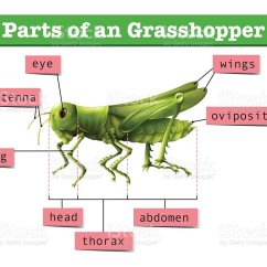 Grasshopper Insect Diagram Fish For Labs Showing Different Parts Of Stock