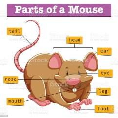 Mouse Dissection Diagram Saas Architecture Showing Parts Of Stock Vector Art And More