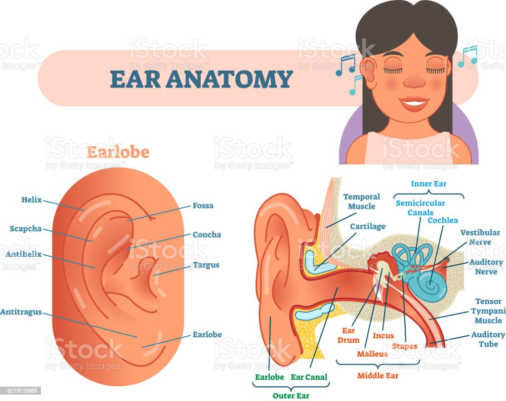 hight resolution of ear anatomy medical vector illustration with outer middle and inner ear cross section diagrams