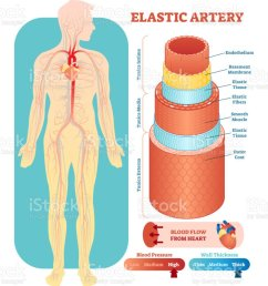 elastic artery anatomical vector illustration cross section circulatory system blood vessel diagram scheme on human [ 841 x 1024 Pixel ]