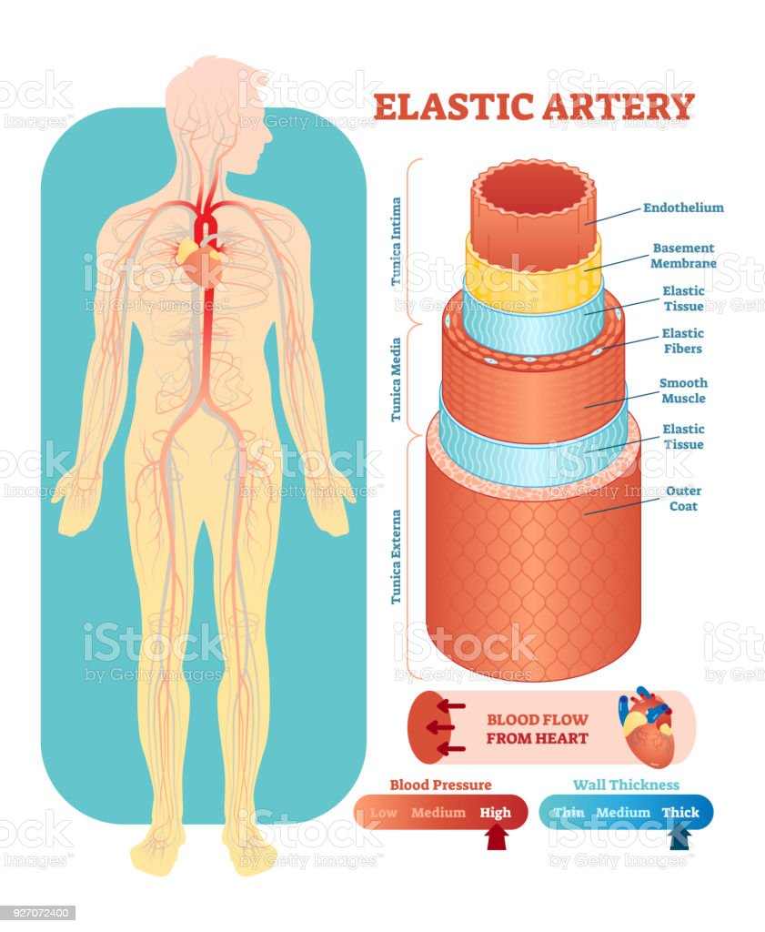 hight resolution of elastic artery anatomical vector illustration cross section circulatory system blood vessel diagram scheme on human