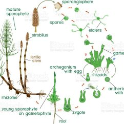 Horsetail Plant Diagram Wb V8 Wiring Equisetum Life Cycle Of With Arvense Dioecious Gametophyte And Titles Illustration