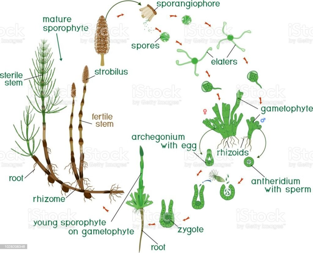 medium resolution of equisetum life cycle diagram of life cycle of horsetail equisetum arvense with dioecious