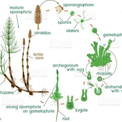 Diagram Of The Life Cycle Strawberry Diy Guitar Wiring Diagrams Equisetum Horsetail