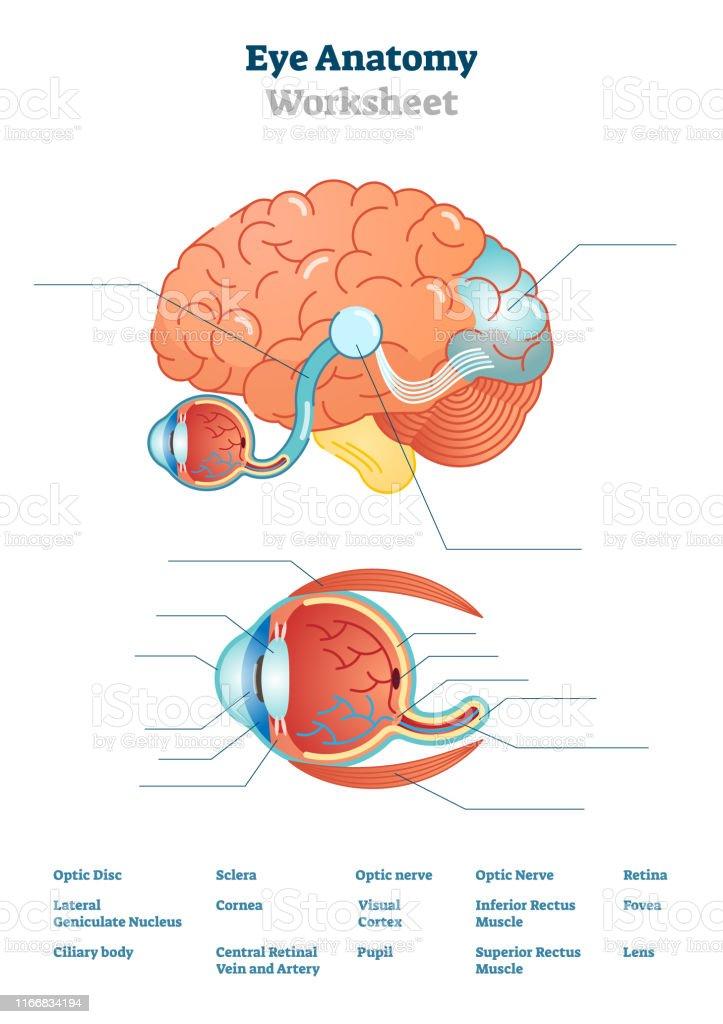 Blank Brain Diagram : blank, brain, diagram, Anatomy, Blank, Worksheet, Printable, Illustrations, Stock, Illustration, Download, Image, IStock