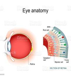 eye diagram rods conuses wiring diagram expert eye diagram rods conuses [ 1024 x 1024 Pixel ]