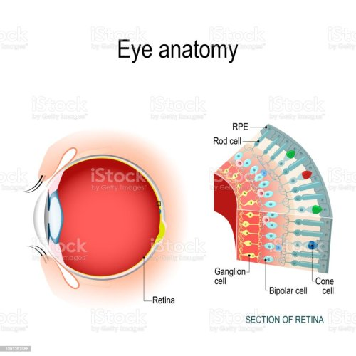 small resolution of eye diagram rods conuses wiring diagram expert eye diagram rods conuses