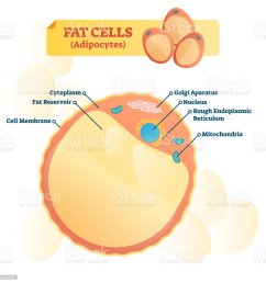 fat cell structure vector illustration labeled anatomical adipocyte diagram royalty free fat cell structure [ 1014 x 1024 Pixel ]