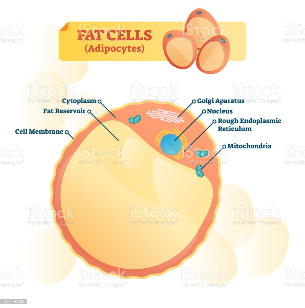 hight resolution of fat cell structure vector illustration labeled anatomical adipocyte diagram royalty free fat cell structure