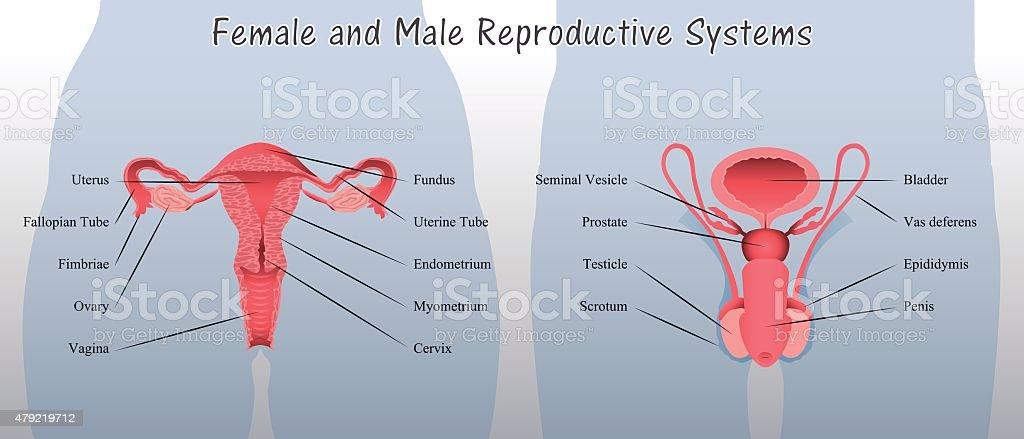 Royalty Free Female Reproductive Organ Clip Art, Vector