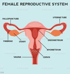female reproductive system image diagram royalty free female reproductive system image diagram stock vector [ 1024 x 1024 Pixel ]