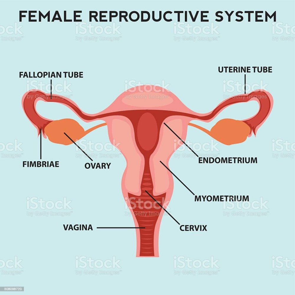 medium resolution of female reproductive system image diagram royalty free female reproductive system image diagram stock vector