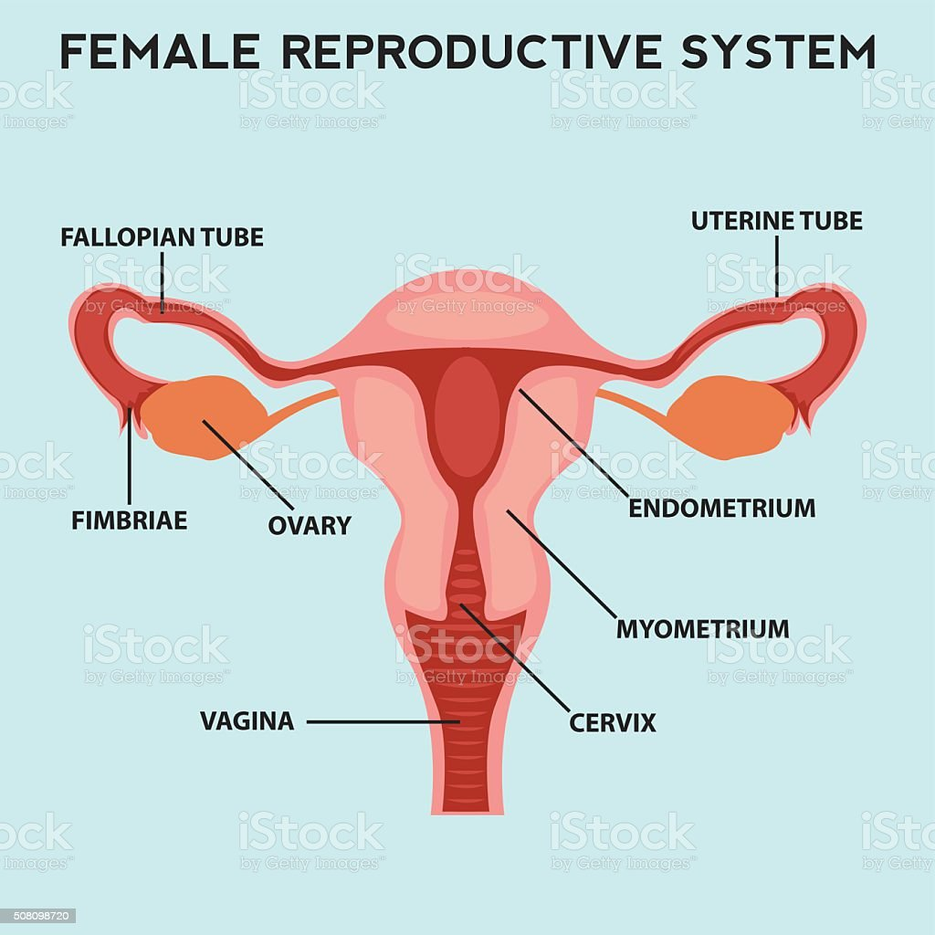 hight resolution of female reproductive system image diagram royalty free female reproductive system image diagram stock vector